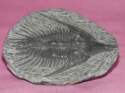 Objekt trilobit